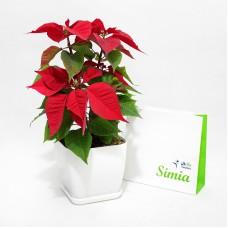 گلدان بنت قونسول( گل کریسمس)